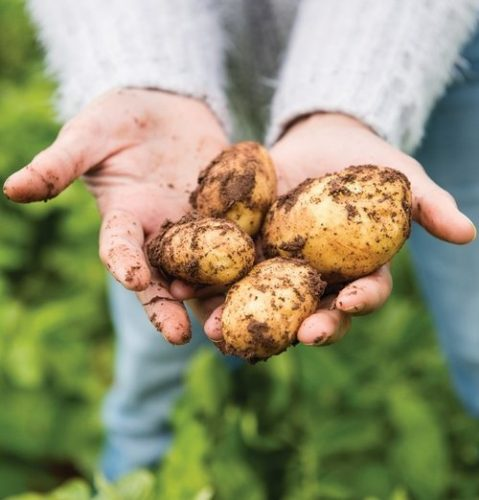 Puffin Produce Pembrokeshire Early Potatoes in Hands