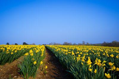 Welsh Blas y Tir Daffodil field