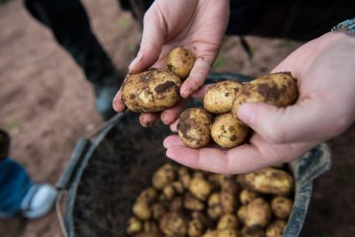 Pembrokeshire Early Potatoes New Season