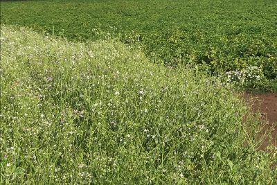 Wildflower mix on headland of potato field - REEF 2019